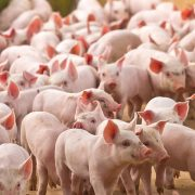 Disease prevention remains priority for pig producers