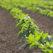 Robust blight strategy vital to tackle pesticide resistance