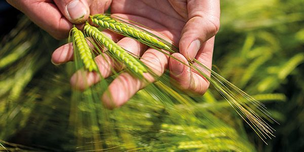 Big demand for 'high resilience' wheat and barley