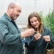 Scientists apply to grow first UK field of gene-edited wheat