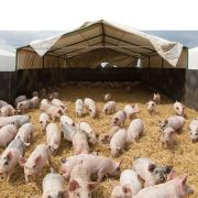 Big reduction in carbon footprint of pig farms
