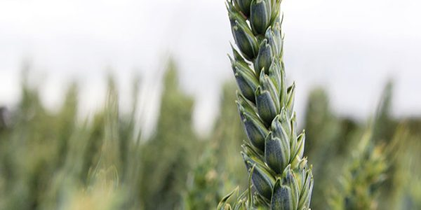 Careful management of spring wheat pays dividends