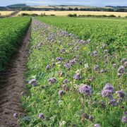 Wildflowers could help control aphid-borne viruses in potatoes