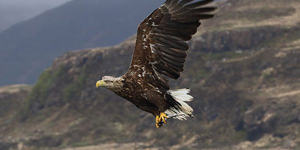 Opinion divided over plan to introduce sea eagles