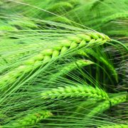 Syngenta showcases new varieties at Cereals