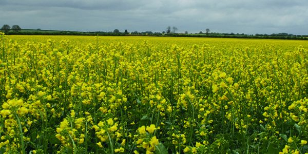 High prices fuel renewed interest in oilseed rape