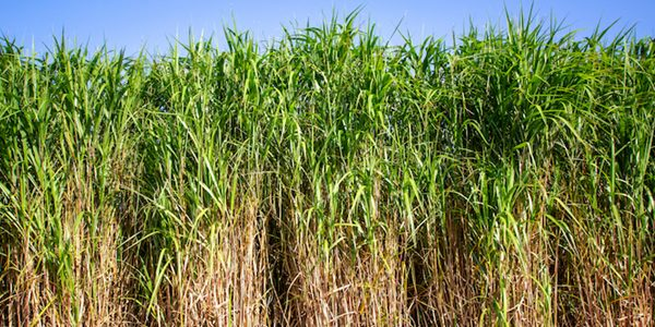Industry first: Miscanthus proved a carbon sink in study