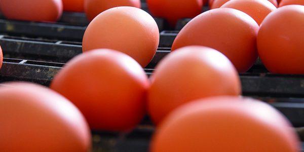 Study identifies genomic pathway to heavier eggs