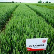 Two wheat candidates to catch your eye in 2022