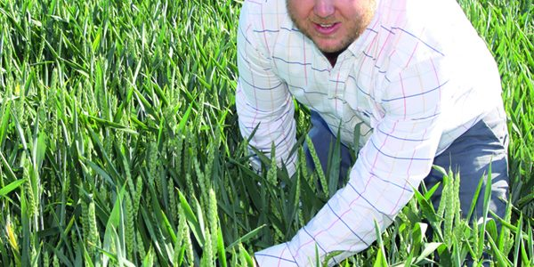 Novel winter wheat offers cost-effective virus control