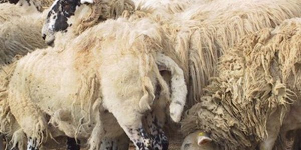 Bold plans to eradicate BVD and sheep scab by 2031
