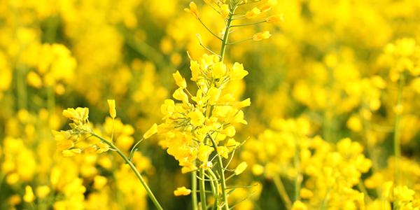 Taking steps to improve oilseed establishment this autumn